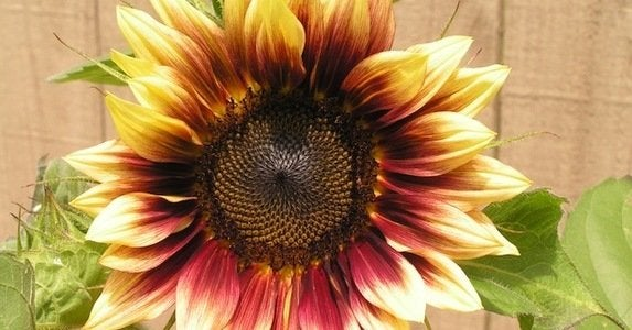 10 not to be missed sunflower blooms