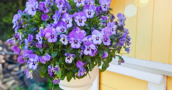 Pansies hanging basket