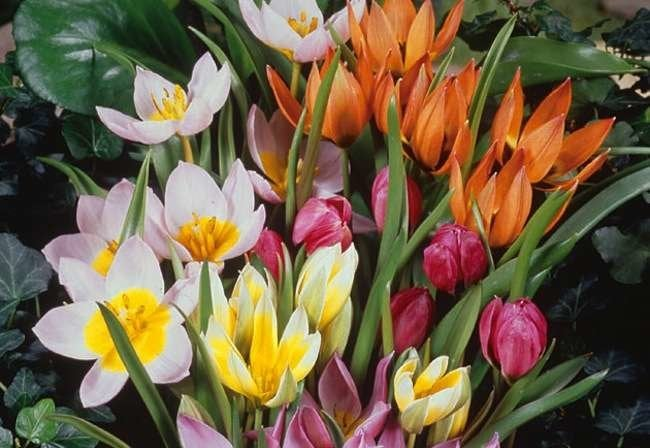 Botanical Tulips: Jewels of the Garden