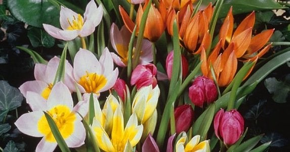 Botanical_tulips