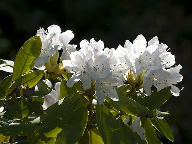 Rhododendrons: Keeping It Green All Winter Long