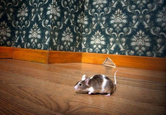 11 Ways to Get Rid of Mice
