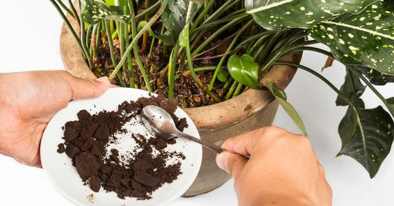 Fertilize plants with coffee grounds