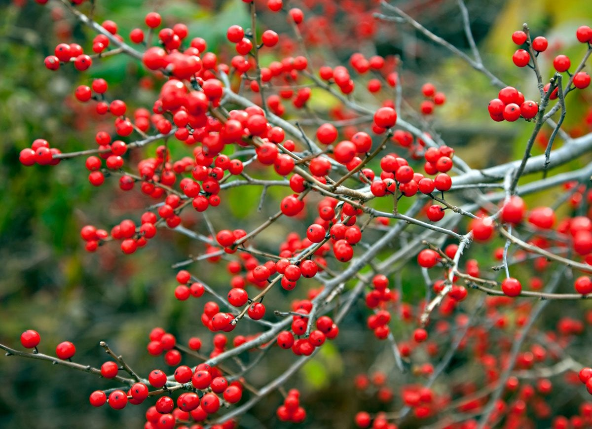 10 Colorful Shrubs for a Standout Winter Garden