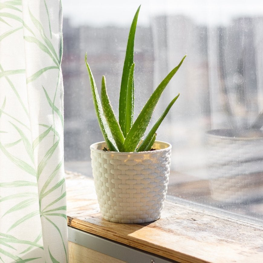 7 Houseplants with Secret Health Benefits