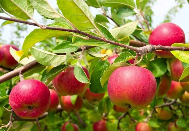 8 Disease-Resistant Apple Tree Varieties
