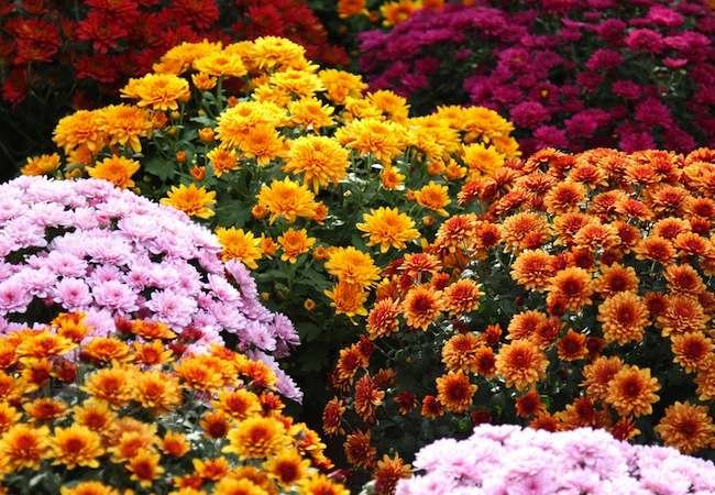 10 Low-Maintenance Mums