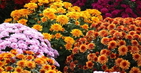 10 low maintenance mums