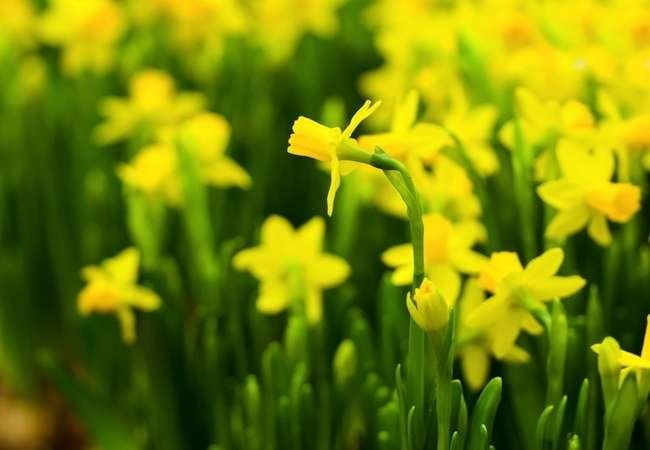 9 Daffodils to Cheer Up Your Garden