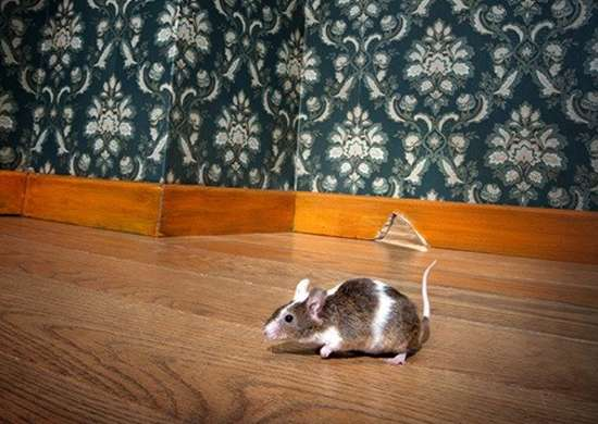 How To Get Rid Of Mice 11 Time Tested Tips Bob Vila