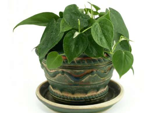 Philodendron Low Light Plant