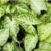 Arrowhead Vine Low Light Plant
