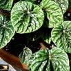 Peperomia Low Light Plant