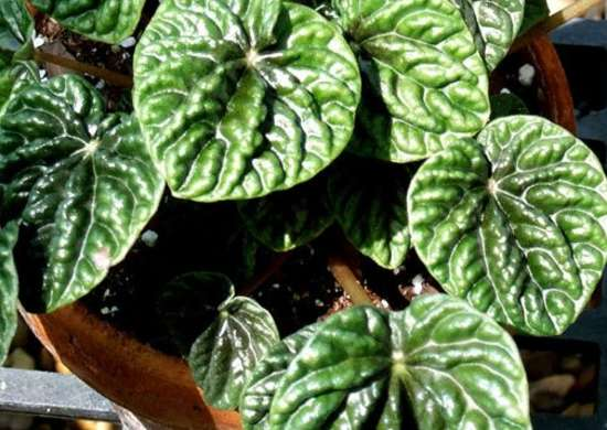 Peperomia Low Light Plant Low Light Plants 10