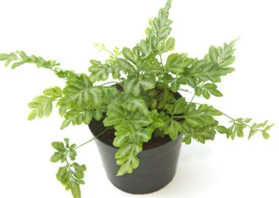 Ferns low light plant low light plants 10 forgiving houseplants bob vila - House plants that grow in low light ...