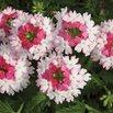 Verbena 'Lanai Twister Pink'
