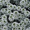 Alyssum 'Snow Princess'