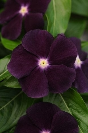 Vinca_jamnjellie_blackberry-closeup