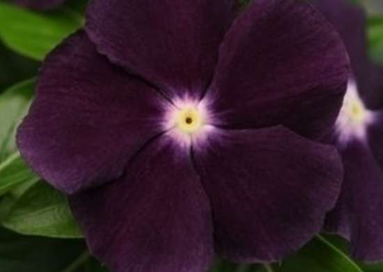 Vinca jamnjellie blackberry closeup