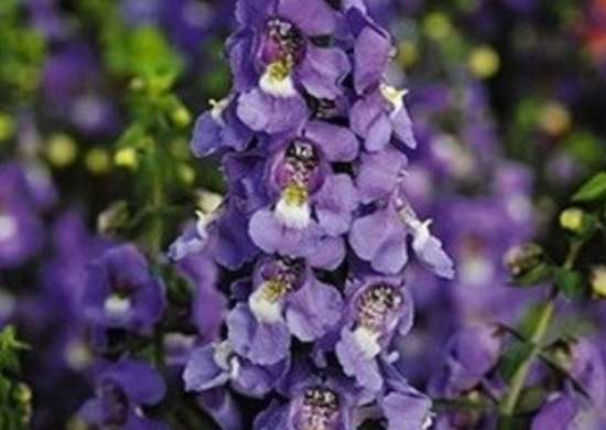 Parkseed.com angelonia serena blue 51031