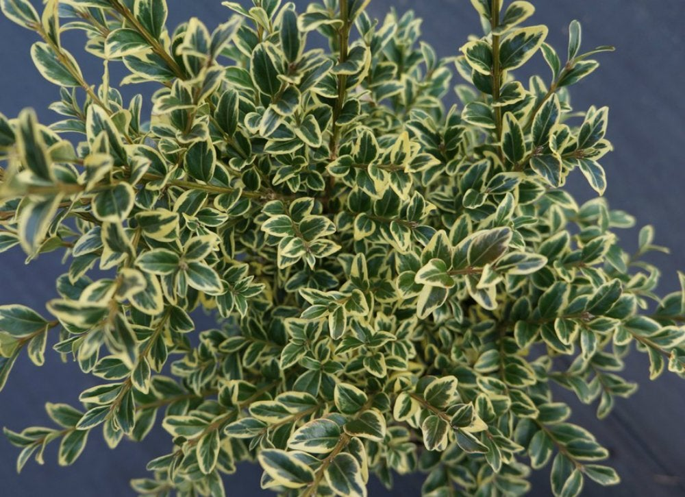 Variegated-boxwood