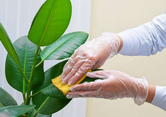 Cleaning Plants with Mayo