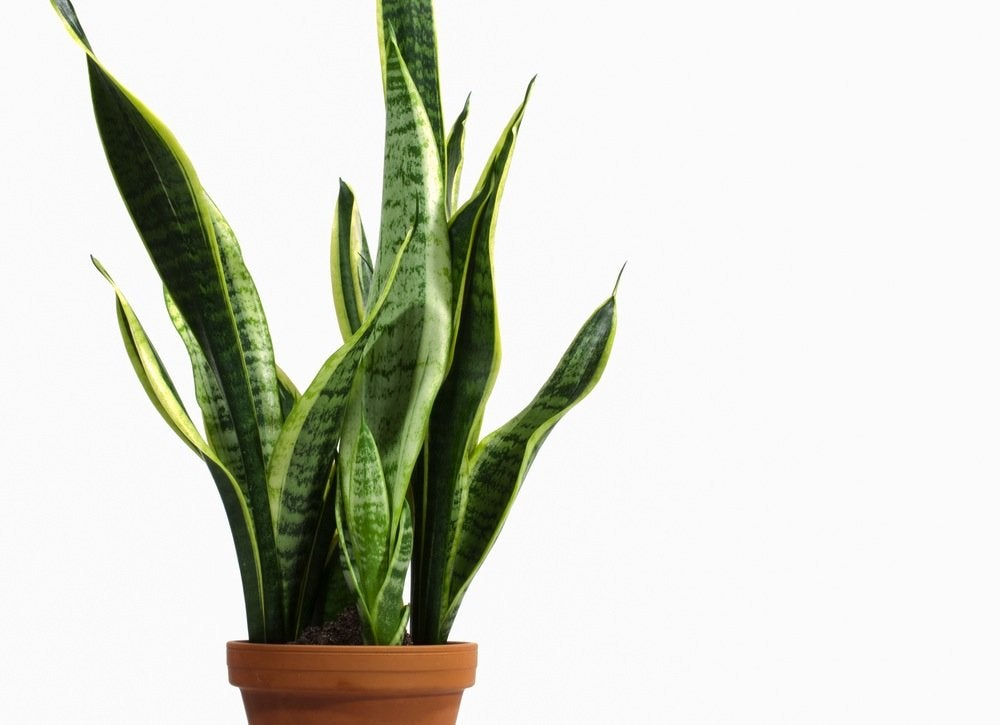 Bathroom plants 10 all time favorites bob vila - Scented indoor plants that give your home a great fragrance ...