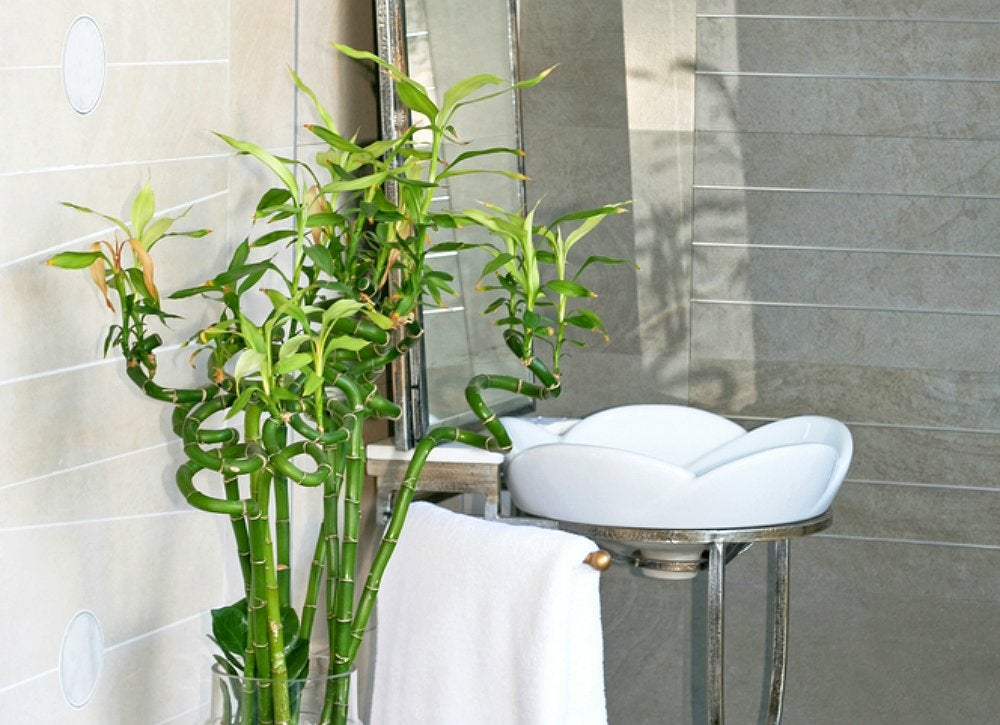 this most zen like plant can grow in almost any lighteven without any soil just place your bamboo to root in a container filled with a few inches of - Bathroom Plants