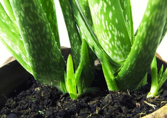 how to grow aloe from the new baby leaves