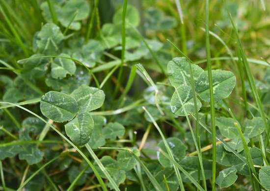 Low growing clover