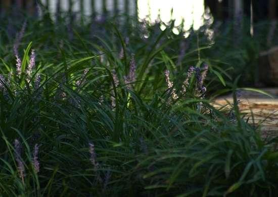 Monkey_grass