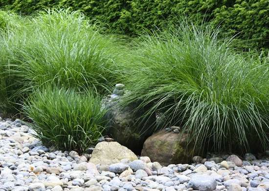 Hardy grasses