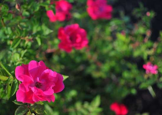 Knock out roses