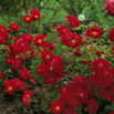 Ground Cover Roses