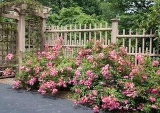Shrub rose fuchsia meidland j011654