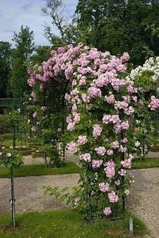 Rosa blush rambler