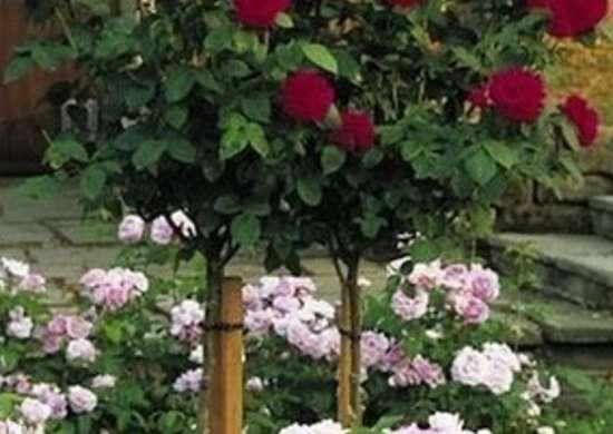 Tree roses rose varieties 11 to consider for your garden bob vila - Rose cultivars garden ...