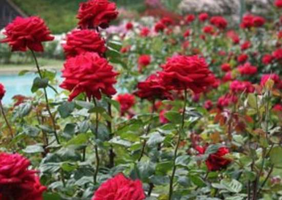 Rose Varieties 11 To Consider For Your Garden Bob Vila