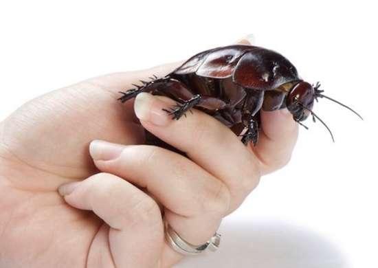 Rhinocerous-cockroach