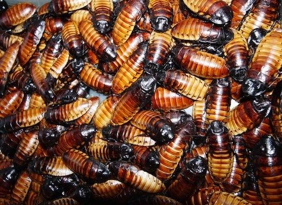 Cockroach diseases