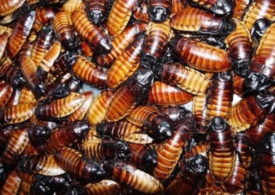 Cockroach-diseases