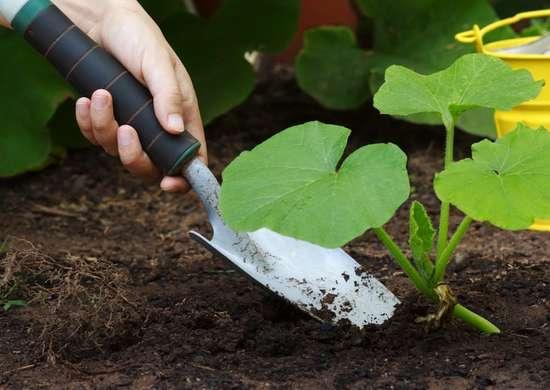 Squash_plants