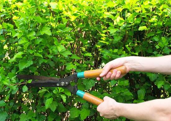 Prune shrubs