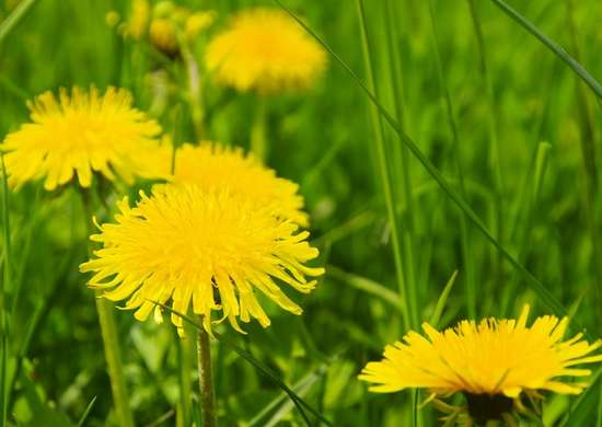 how to get rid of dandelion weeds in lawn