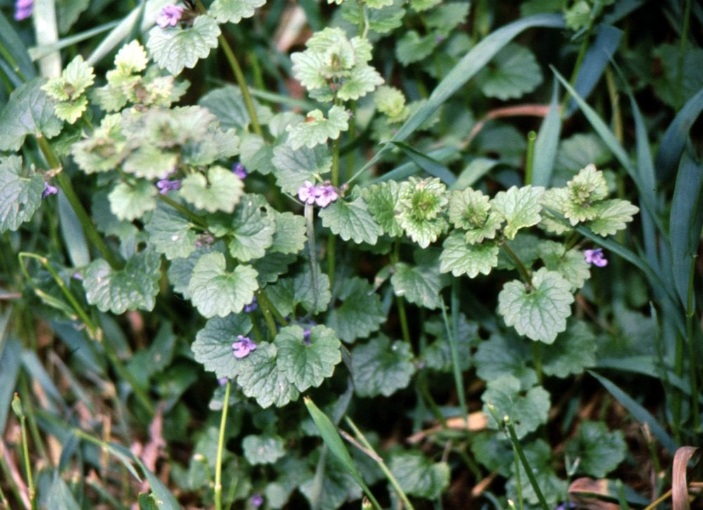 Ground_ivy