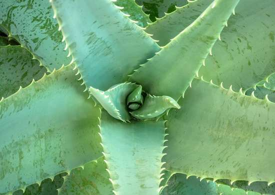 Growing Aloe Vera