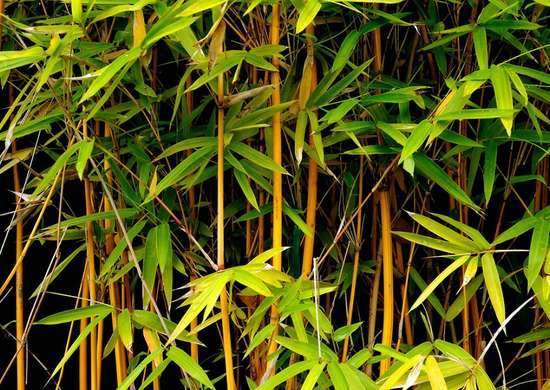 Caring For Bamboo Common Garden Plants 15 You Shouldn