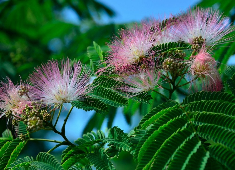 Common garden plants 15 you shouldnt grow bob vila the mimosa family of shrubbery and silk trees with their feathery fern like leaves and showy pink flowers look both exotic and romantic mightylinksfo