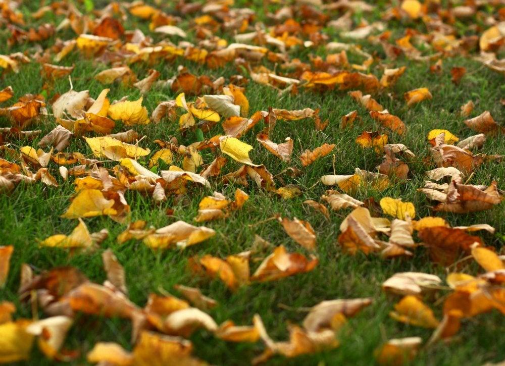 Lush_lawn_-_leaves