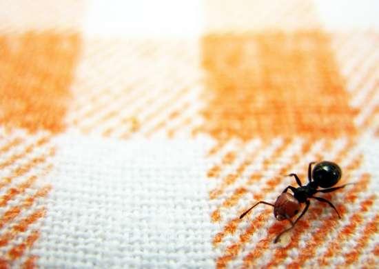 Ants at a picnic